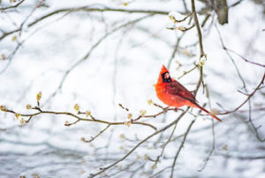 Cardinal sitting on winter branches